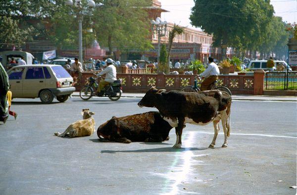 Les vaches encombrent les carrefours…