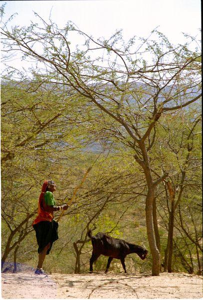 Indienne ramassant du bois avec sa chèvre