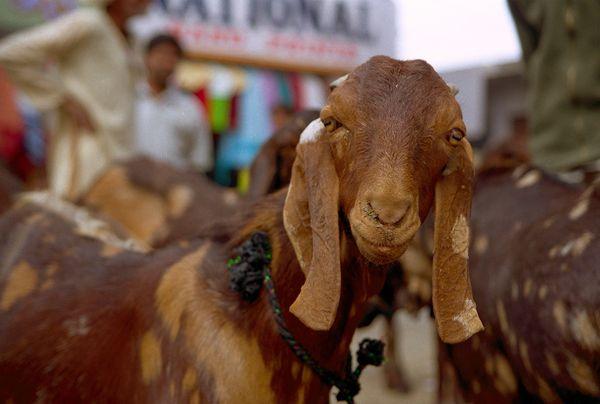 Chèvre citadine sur le marché
