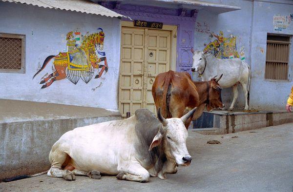 Art et vaches