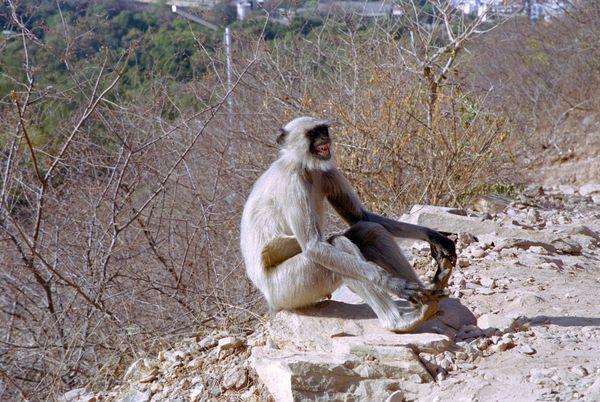 Montée au Sunset View Point. Joli singe qui se tient les orteils en grimaçant. Impressionné par nos humbles personnes, il attend prudsemment et nous laisse passer.