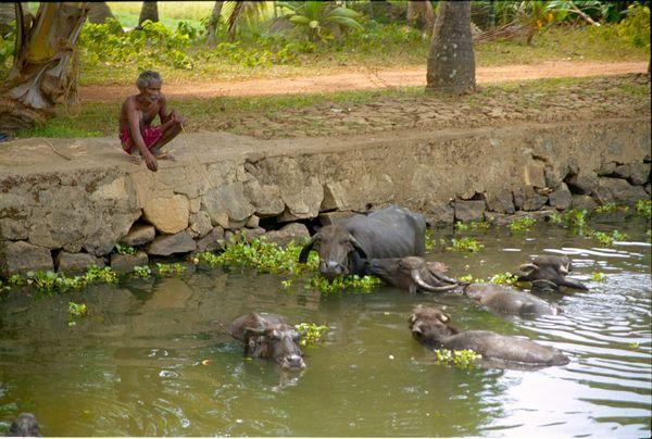 Le bain des buffles