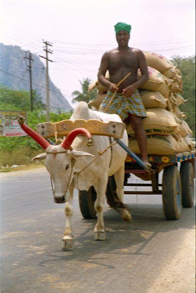 Sikh conduisant fiérement son char à boeufs