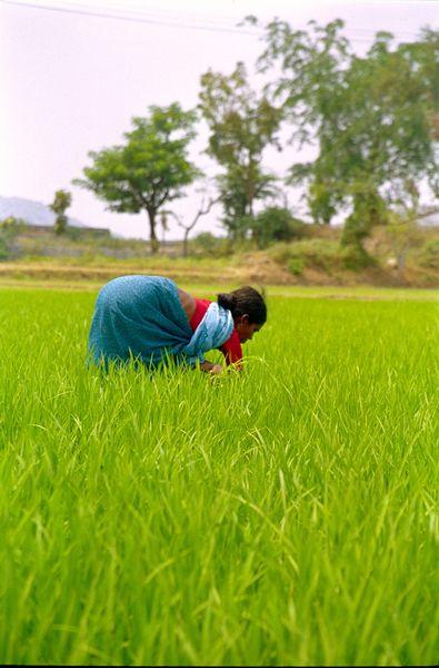 Travail dans les rizières au pied de la première colline abritant les temples
