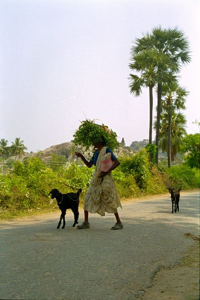 Une femme, ses chèvres et sa récolte sur la tête