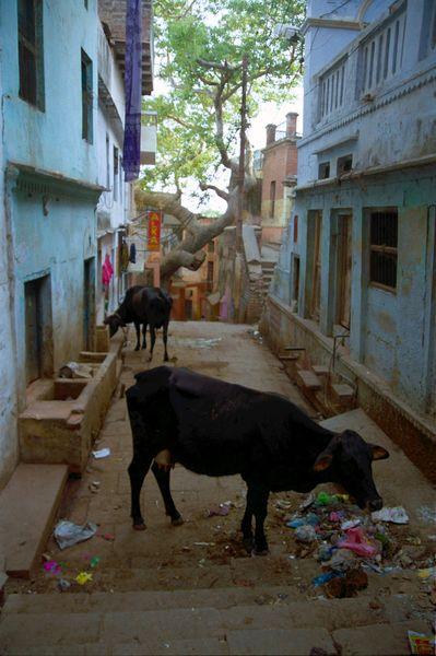 Vaches et poubelles dans une ruelle (ça rime!)