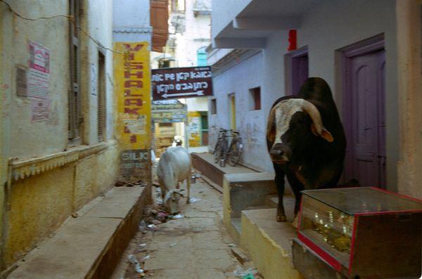Vache et taaureaux dans la ruelle... on fait comment pour passer?